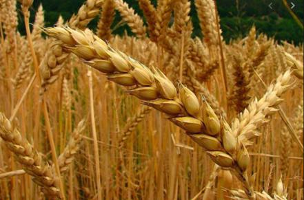 ¿Es el bioetanol  un subproducto del biorefino de cereal?